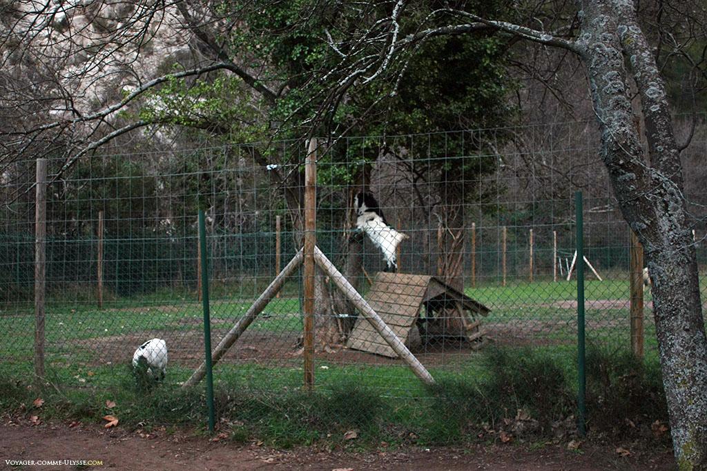 Ici, dans cet enclos, les chèvres peuvent vivre en paix, et même se nourrir des feuilles des arbres...